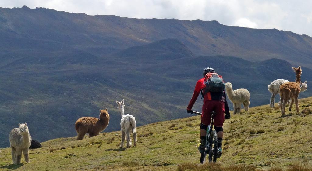 Biking in Peru-05-llamadsc00701.jpg