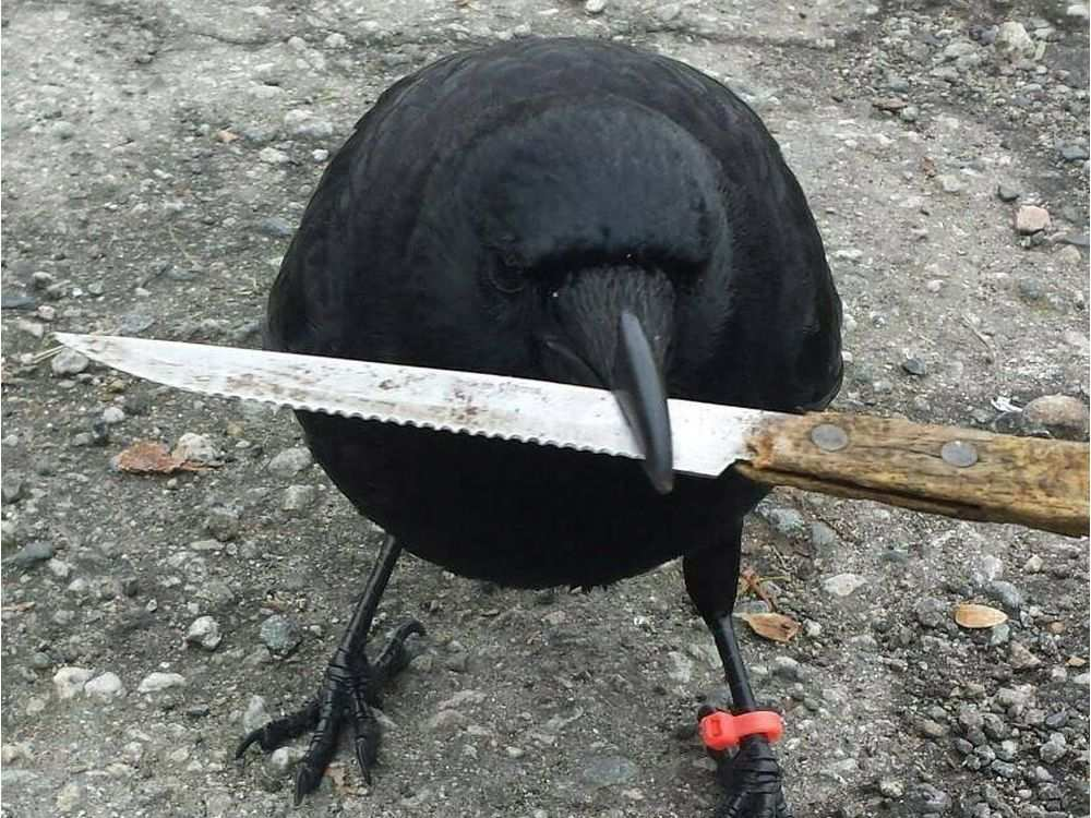 are there just a crapload of crows (the bird) in your area?-0527-na-attic-crow1.jpg