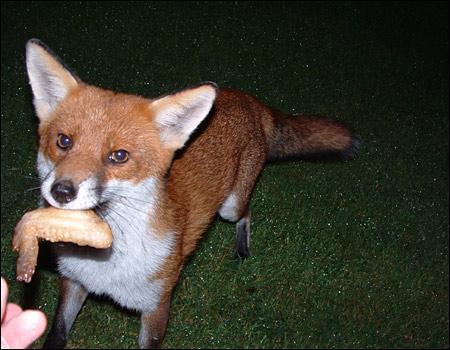 Name:  05_fox_450x350.jpg Views: 5319 Size:  61.1 KB