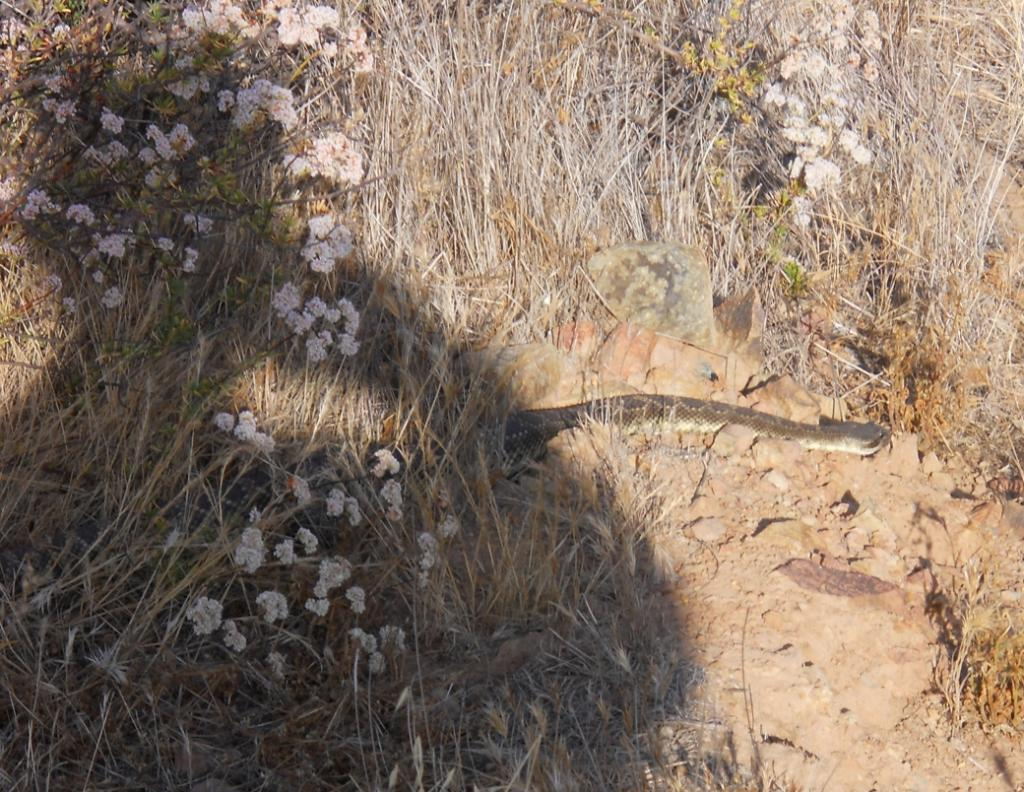 Who's run over a Rattler?  now that its snake season-1.jpg
