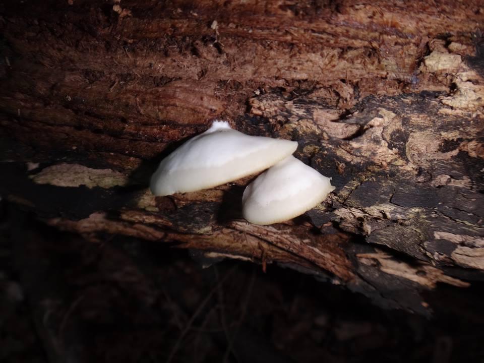 Mushrooms....Post your pics...-10487363_531902573605422_97973156022473989_n.jpg