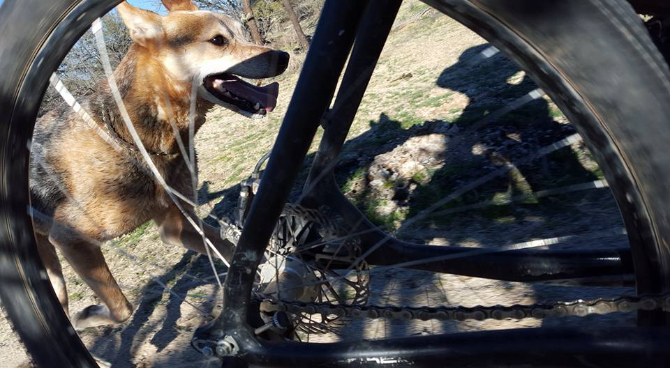 Post your dog with your single speed-12417840_10103693714952523_9171427519912518003_n.jpg