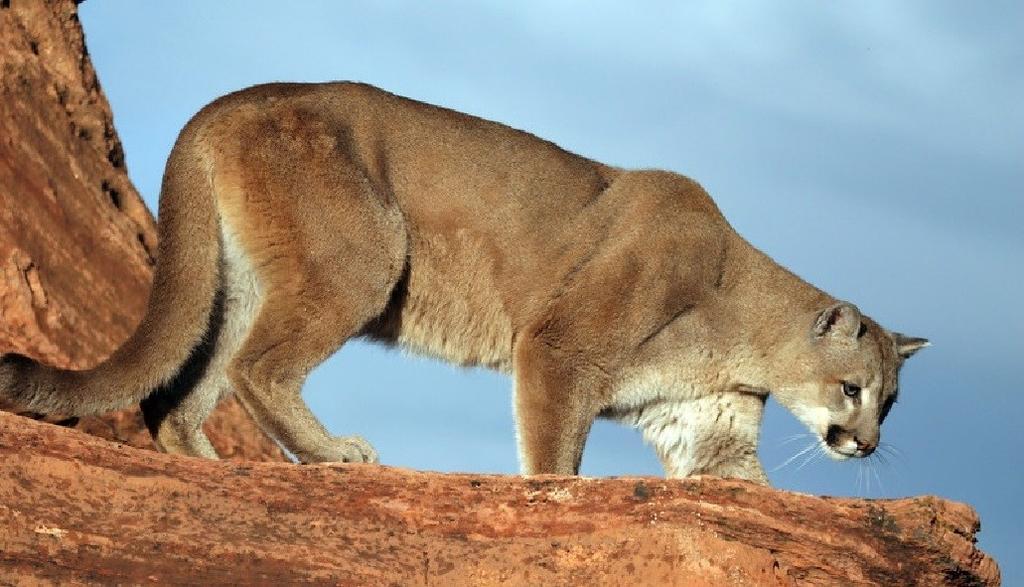 Mountain Lions: Who's seen one?-13d764b7-c0f3-4061-99b2-f3e7cc294fdb.jpg