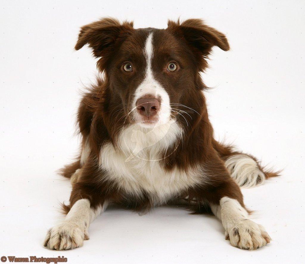 Puppy!-15066-chocolate-border-collie-white-background.jpg