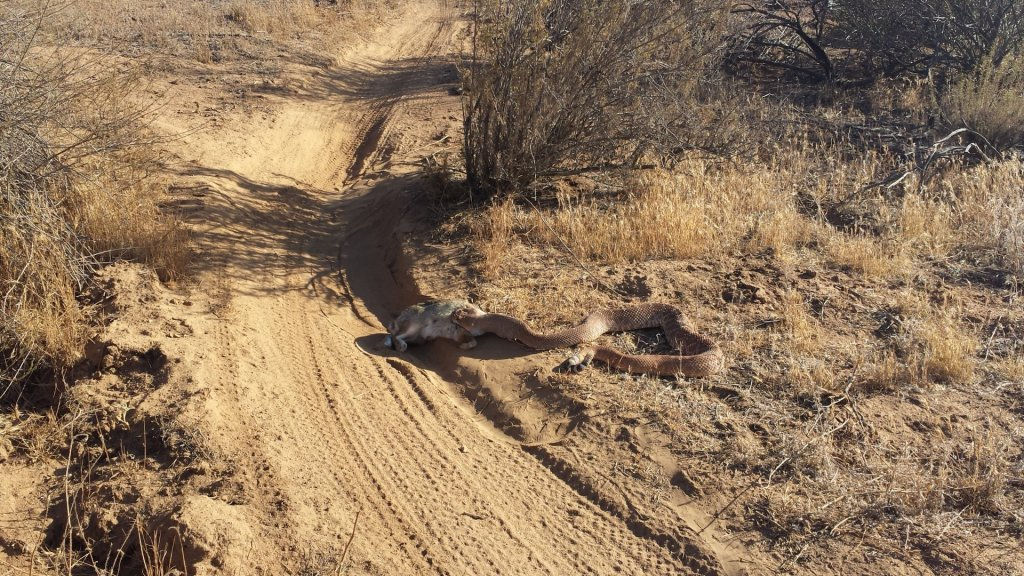 Who's run over a Rattler?  now that its snake season-2014-06-17-18.15.19-large-.jpg