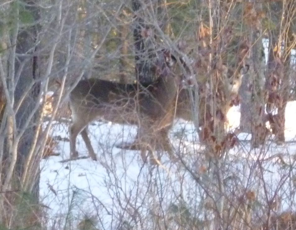 Seen any wildlife on the trail?-2deer.jpg