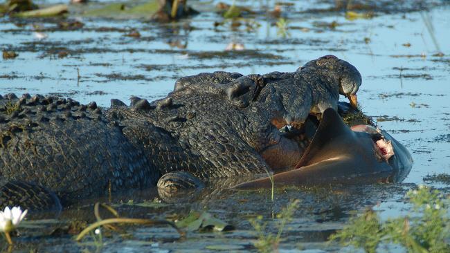 Morbid Fear-373625-crocodile-eats-shark.jpg