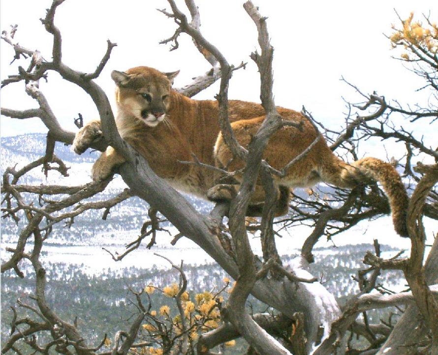 Mountain Lion Attack, Colorado.-60cee10b-1af6-4f73-be0a-da7c81bc506e.jpeg