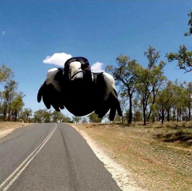 Biking Australia? Beware of the MAGPIE!-69958216_10157551539119700_5281363959239147520_n.jpg