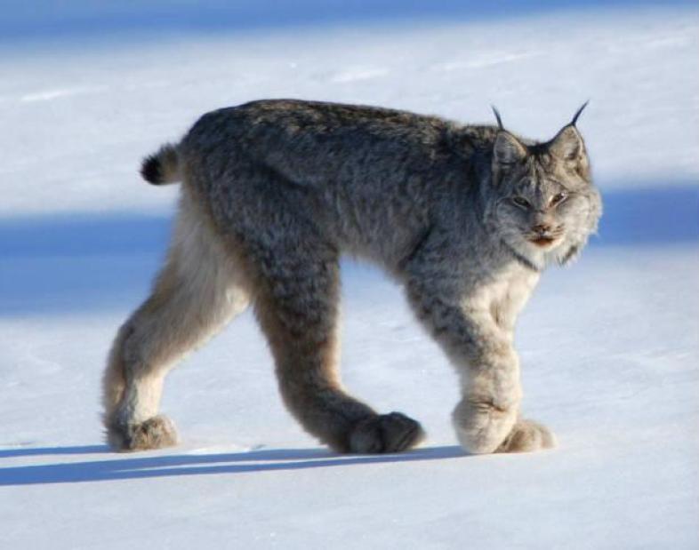 Mountain Lions: Who's seen one?-6b9a4e73-1a8e-4374-a3b7-44e9df0590a2.jpeg