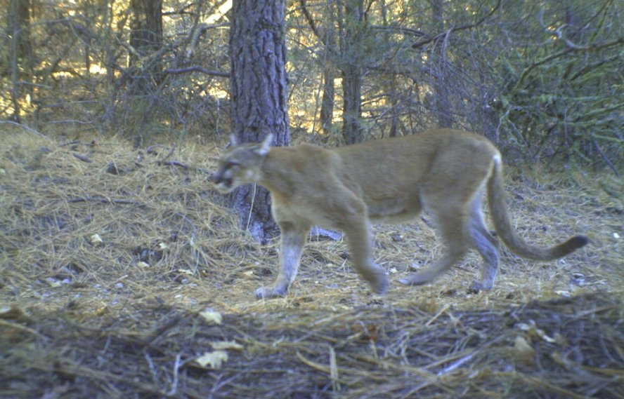 Withdrawal area riding-819346d1374858529-mountain-lion-sighting-otero-canyon-cat.jpg