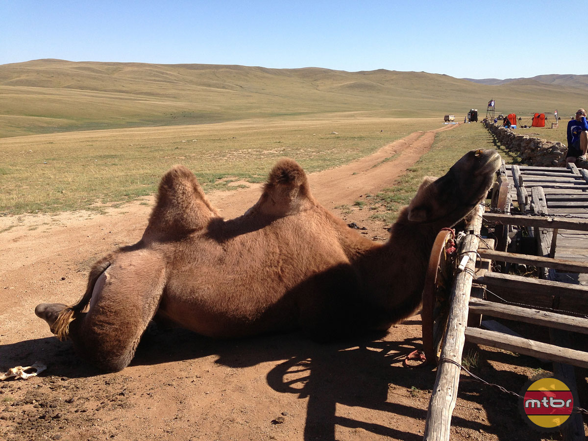 Camel at Camp