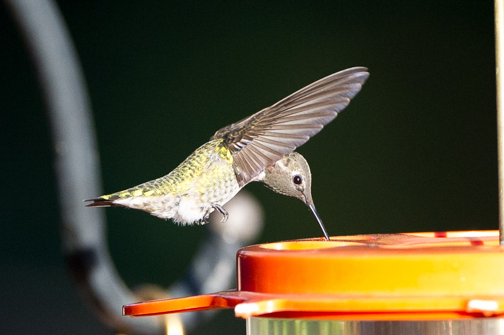 OT: Bird Pix...-_dsc3970.jpg