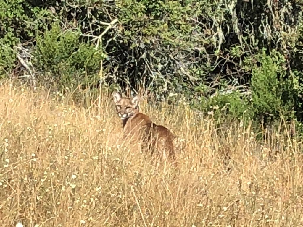 Mountain Lions: Who's seen one?-a5faaf99-8437-4b03-8cb2-358884b0fa1a.jpg