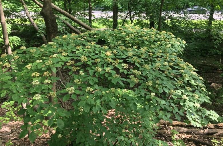 Invasive Species-alternate-leaf-dogwood.jpg