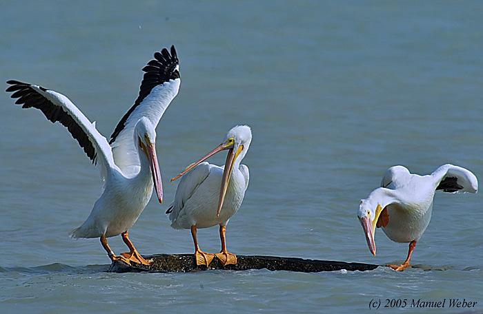 Weekend roll-american-white-pelicans.jpg