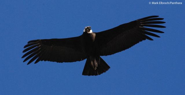 The Bird Thread...-andean.jpg