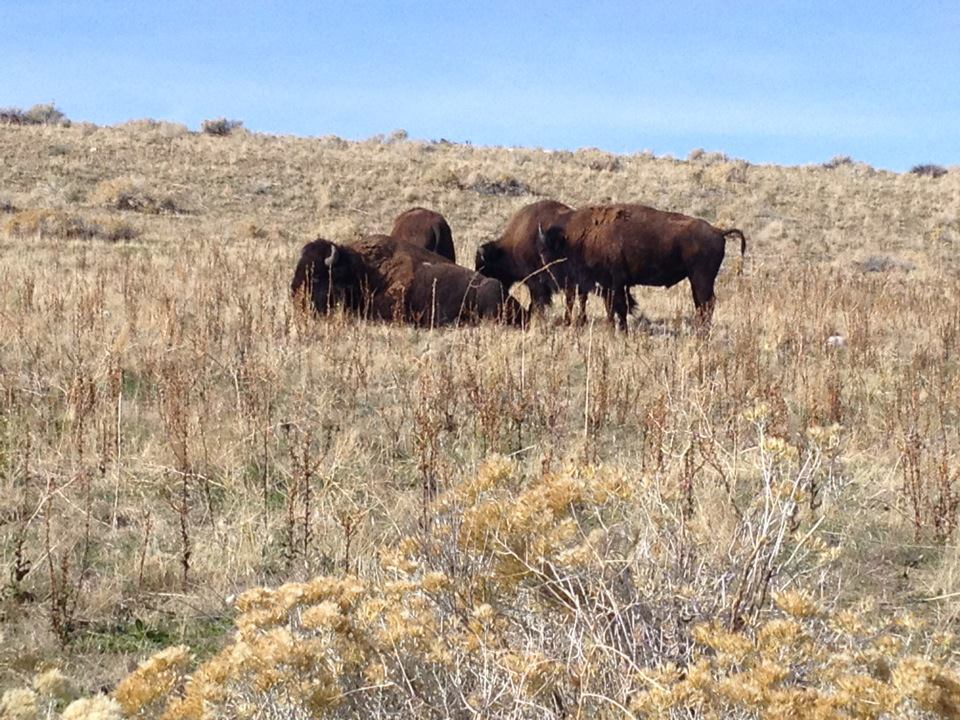 Wildlife you have seen on trail...post your pics...-antelope-island-bison.jpg