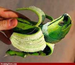 Name:  bananagreen.jpg Views: 307 Size:  8.6 KB