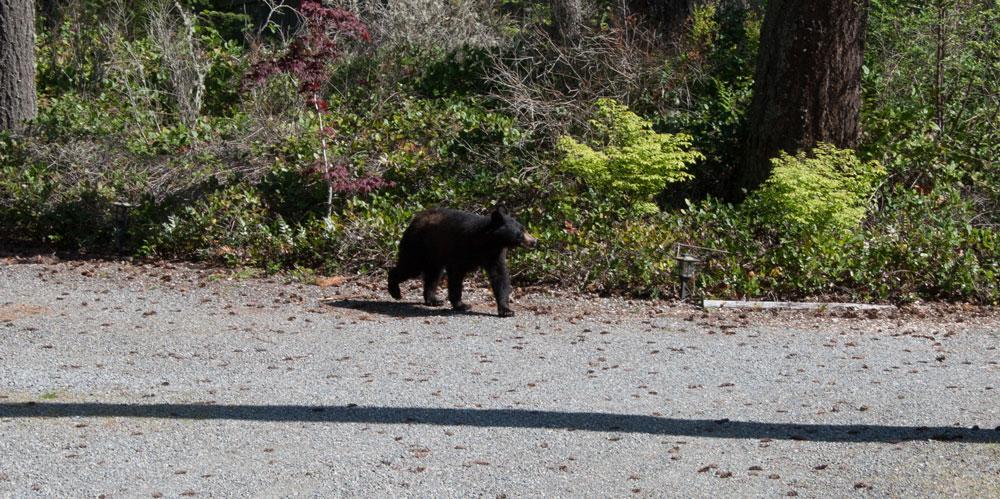 animal encounters-bear-2.jpg