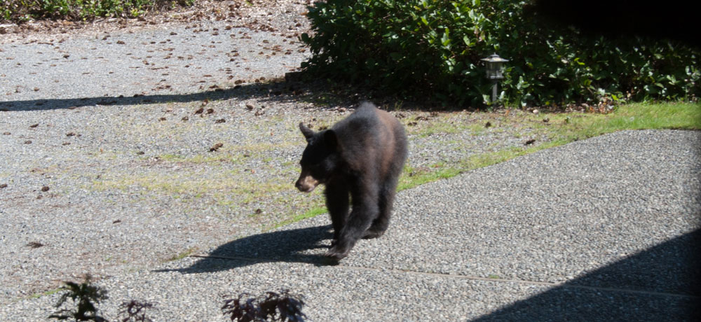 animal encounters-bear-3.jpg