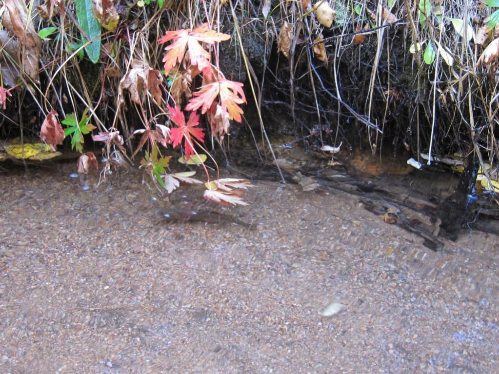 Bear Creek  Cutthroat Trout - Trail Changes might be coming-bear_creek_greenback_cutthroat.jpg