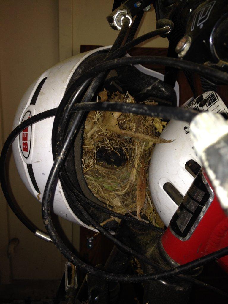 Bird Built a Nest in my Kids Helmet Hanging from His Bike-bell-faction-birds-next-helmet.jpg