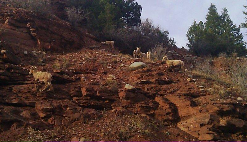 Wildlife you have seen on trail...post your pics...-bighorns-near-telluride-2.jpg