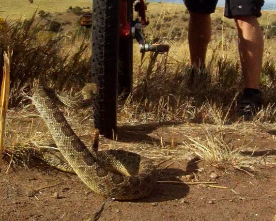 Mountain Biker Vs Rattlesnake-biker-v-snake.jpg