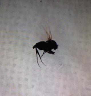 Name:  black fly.jpg Views: 561 Size:  19.4 KB