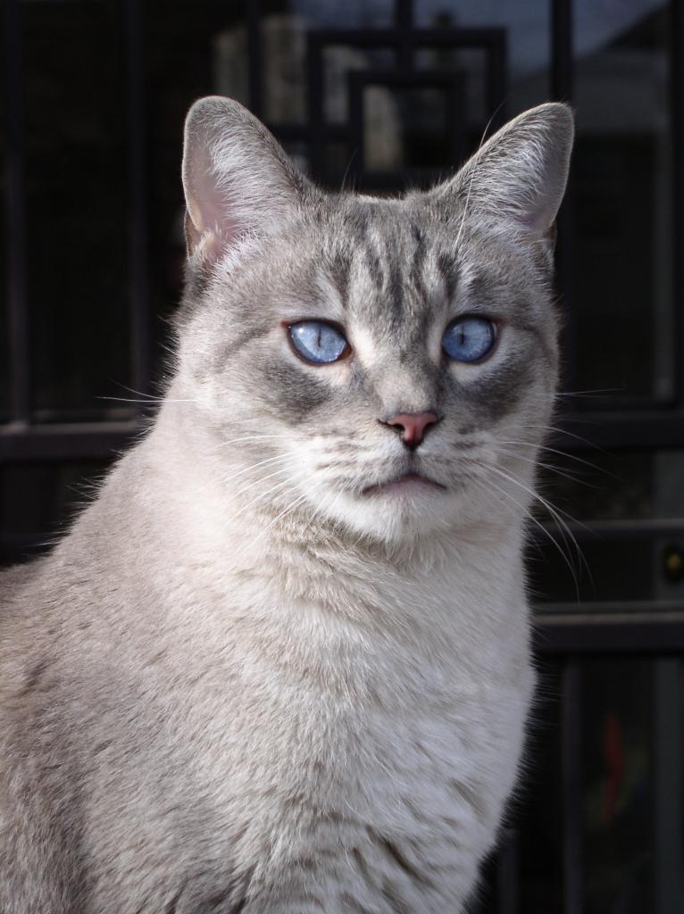 Cat Passion (here kittie, kittie, my new best friend...) Post your cat photos.-blue-eyed-boy-topher.jpg