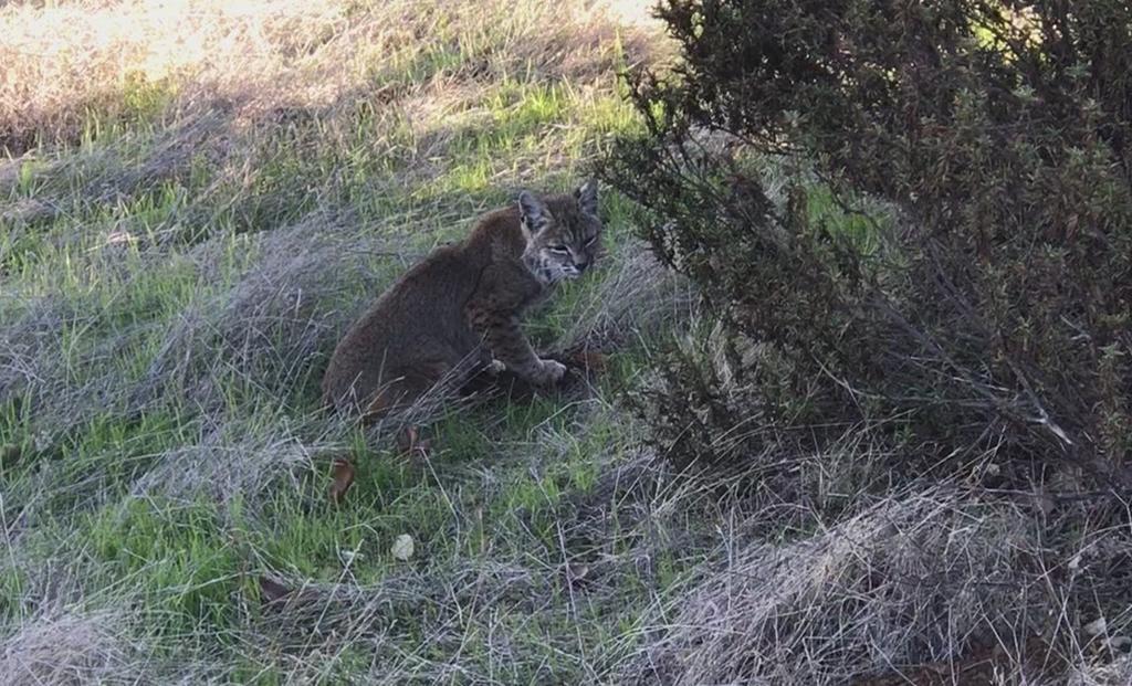 Mountain Lions: Who's seen one?-bob-cat.jpg