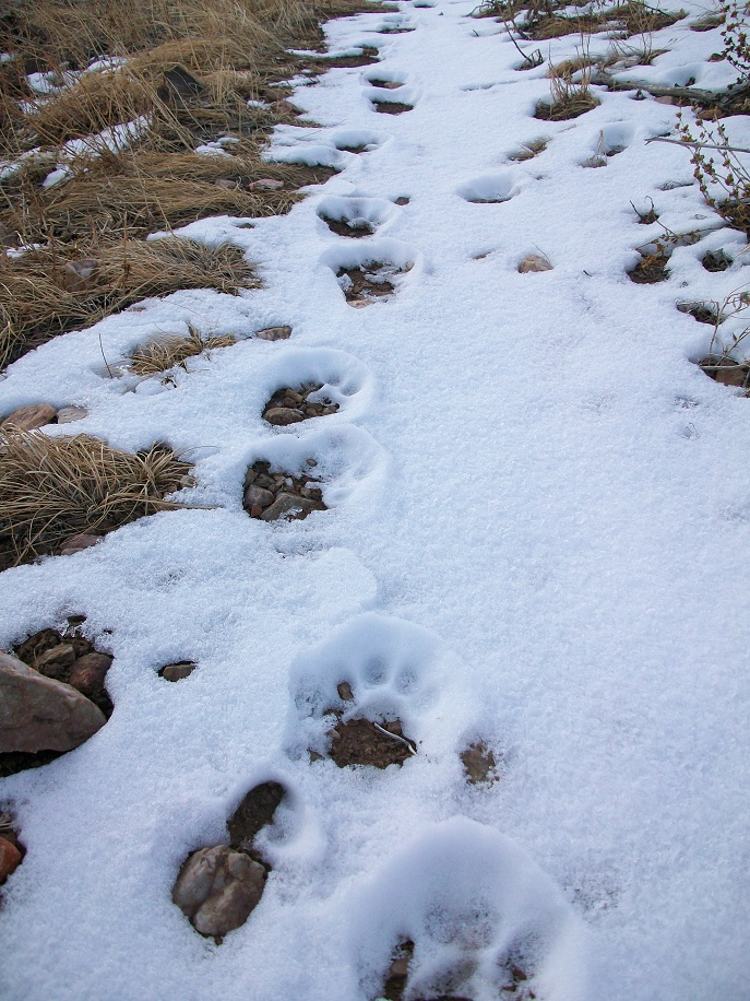 Bobcat Ridge Natural Area open.-bobcat-tracks-1.jpg