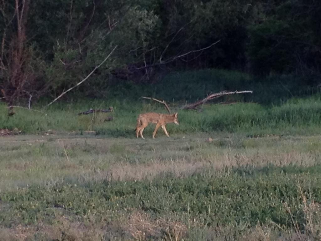 Wildlife you have seen on trail...post your pics...-boulder-fox.jpg
