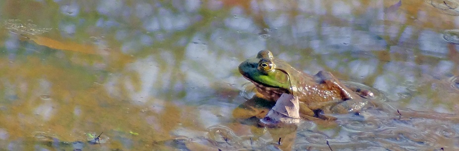 Wildlife you have seen on trail...post your pics...-bullfrog1.jpg