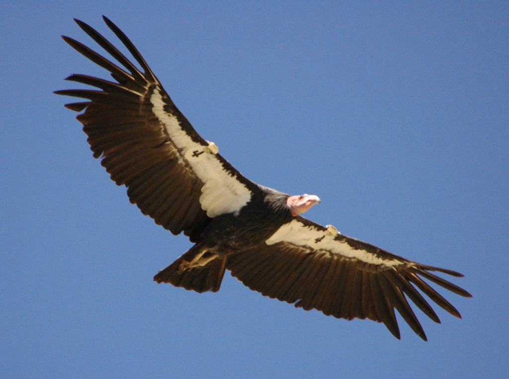 The Bird Thread...-california-condor-flight.jpg