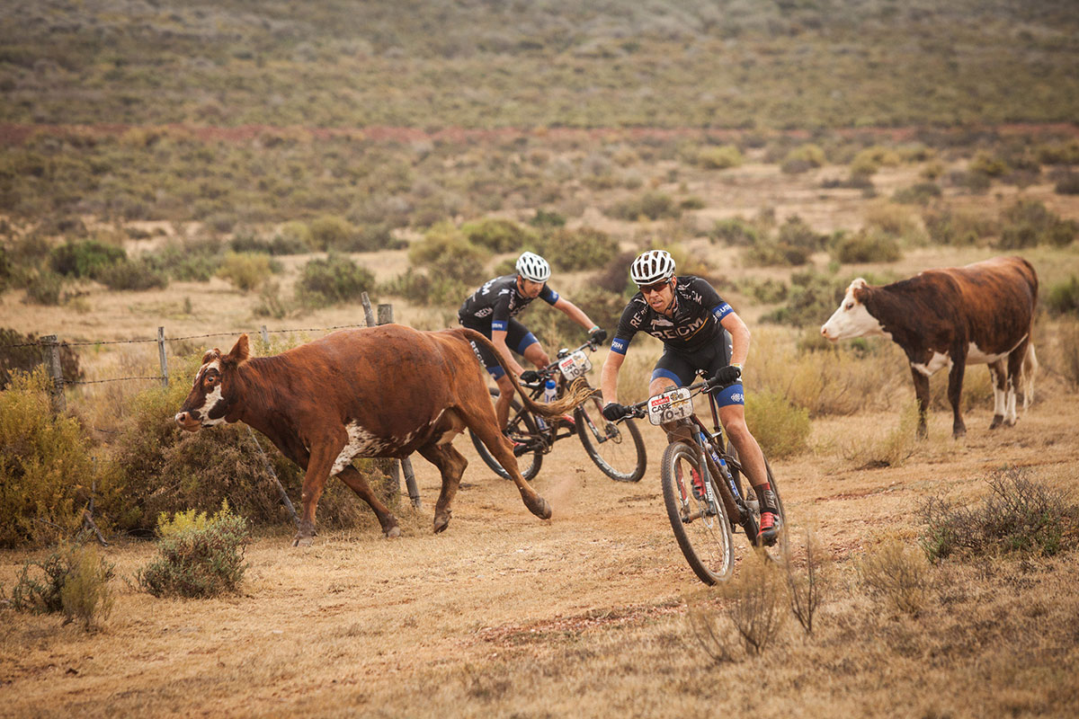 Cape Epic Cattle