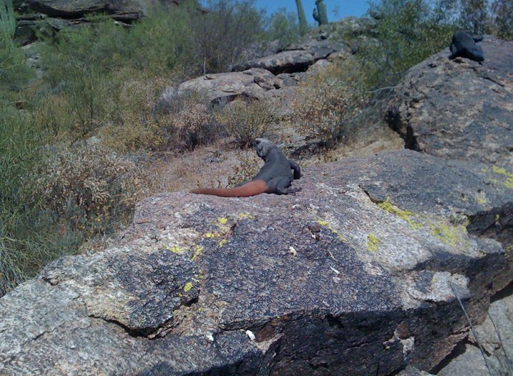 Couple pics of carrot-tailed chuckwallas at Somo-carrotchuckwalla.jpg