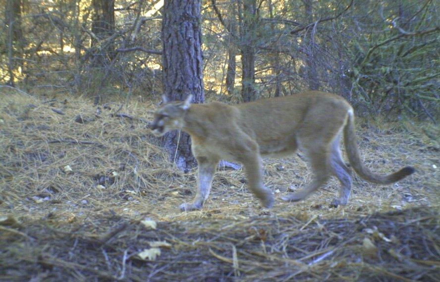 Mountain Lion Sighting in Otero Canyon!-cat.jpg