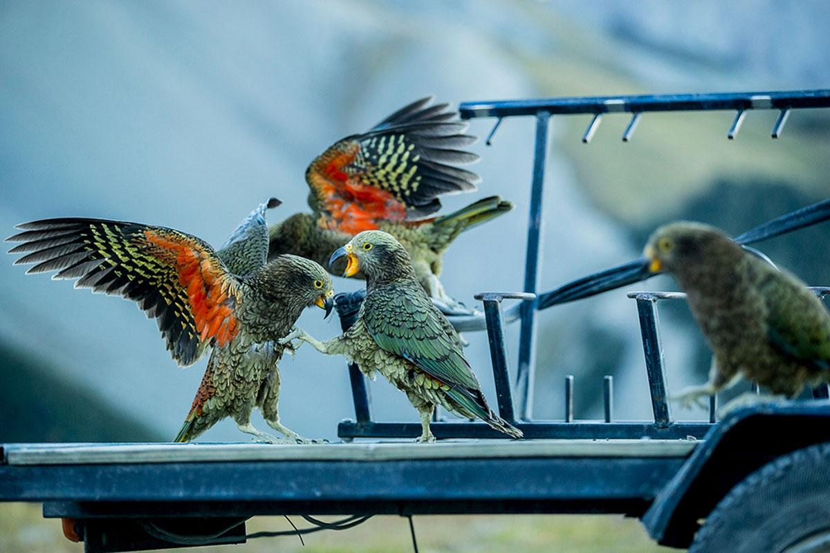 Cheese kea birds