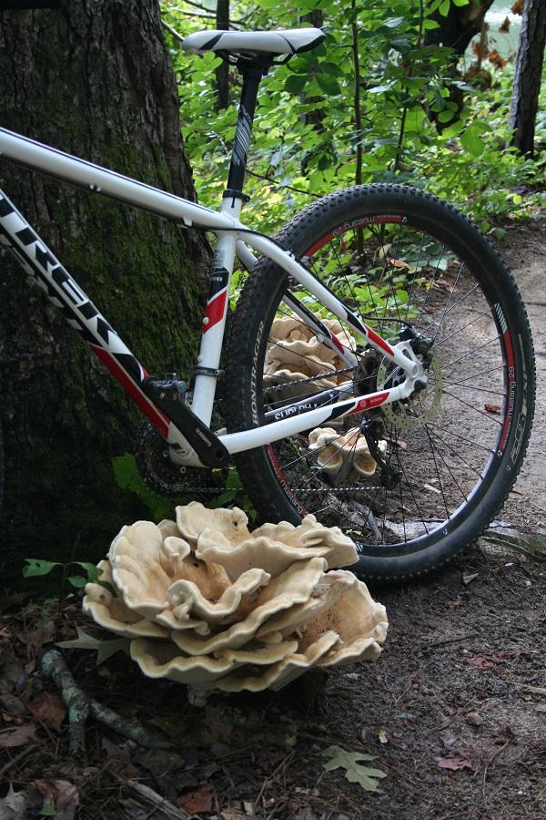 Mushrooms....Post your pics...-chickofthewoodsmushrooms.jpg