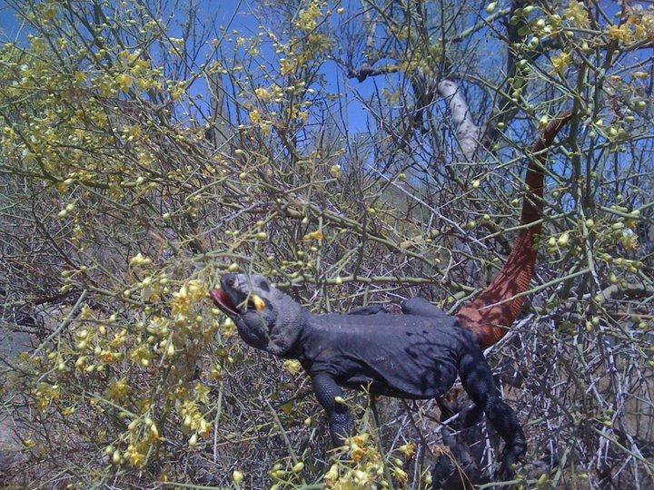 Couple pics of carrot-tailed chuckwallas at Somo-chuckwalla2.jpg