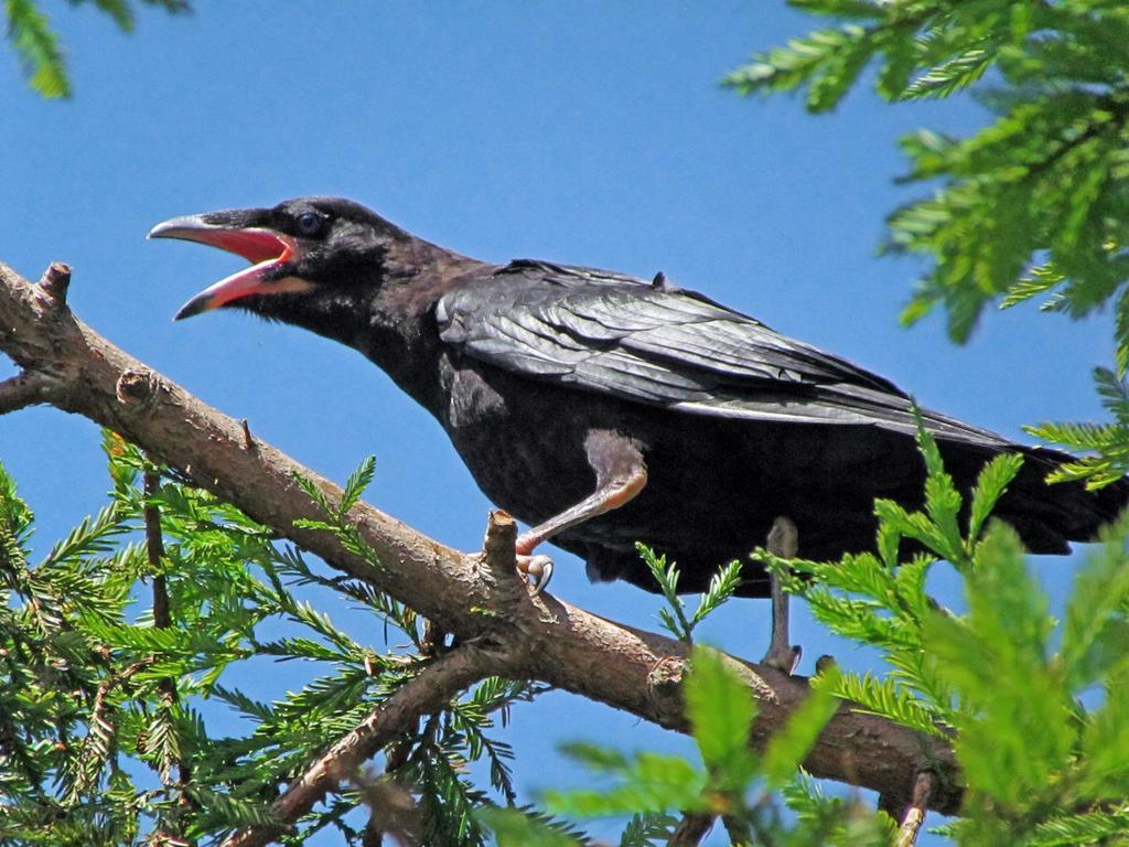 The Bird Thread...-common_raven_-_juvenile.jpg