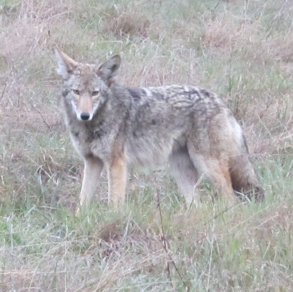 Wildlife you have seen on trail...post your pics...-coyote.jpg