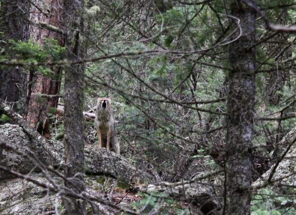 Fun in the woods-coyote1.jpg