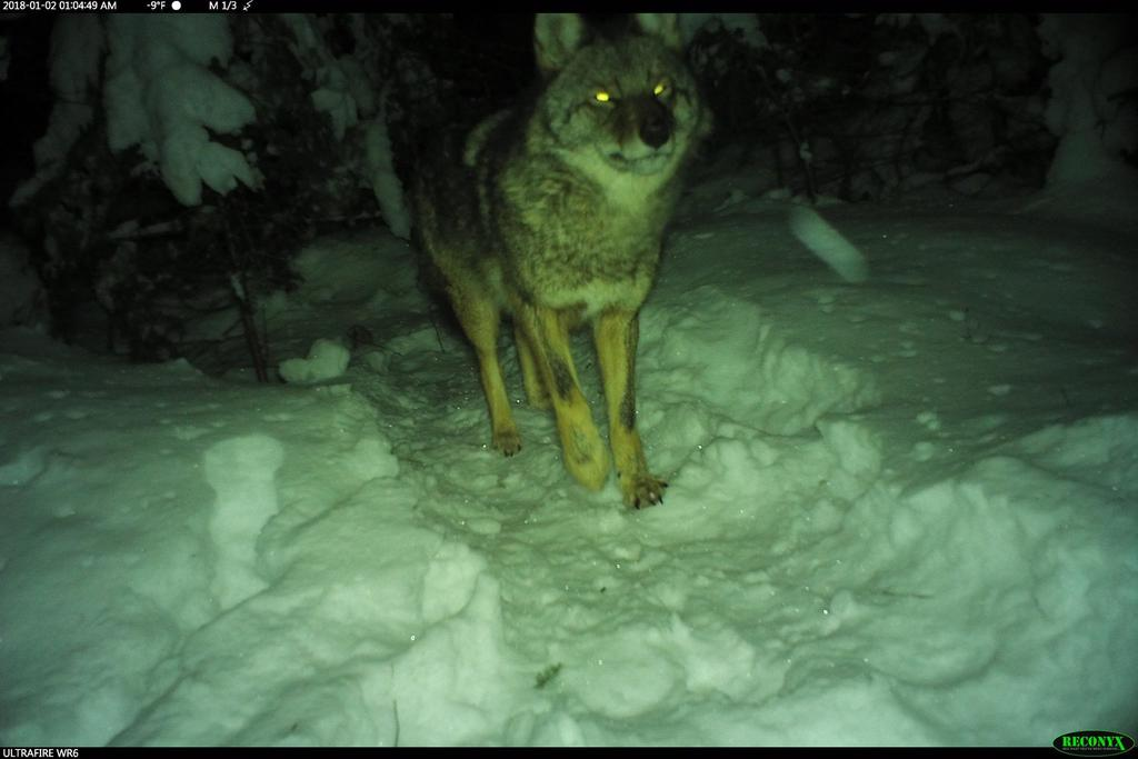 How was your commute today?-coyotejan2018.jpg