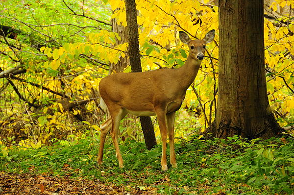 ATTENTION...please..no more 'pictures of the fall'  its getting nauseating...-deer-fall-colors-david-arment.jpg