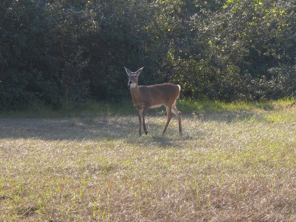 Wildlife you have seen on trail...post your pics...-deer-resize.jpg