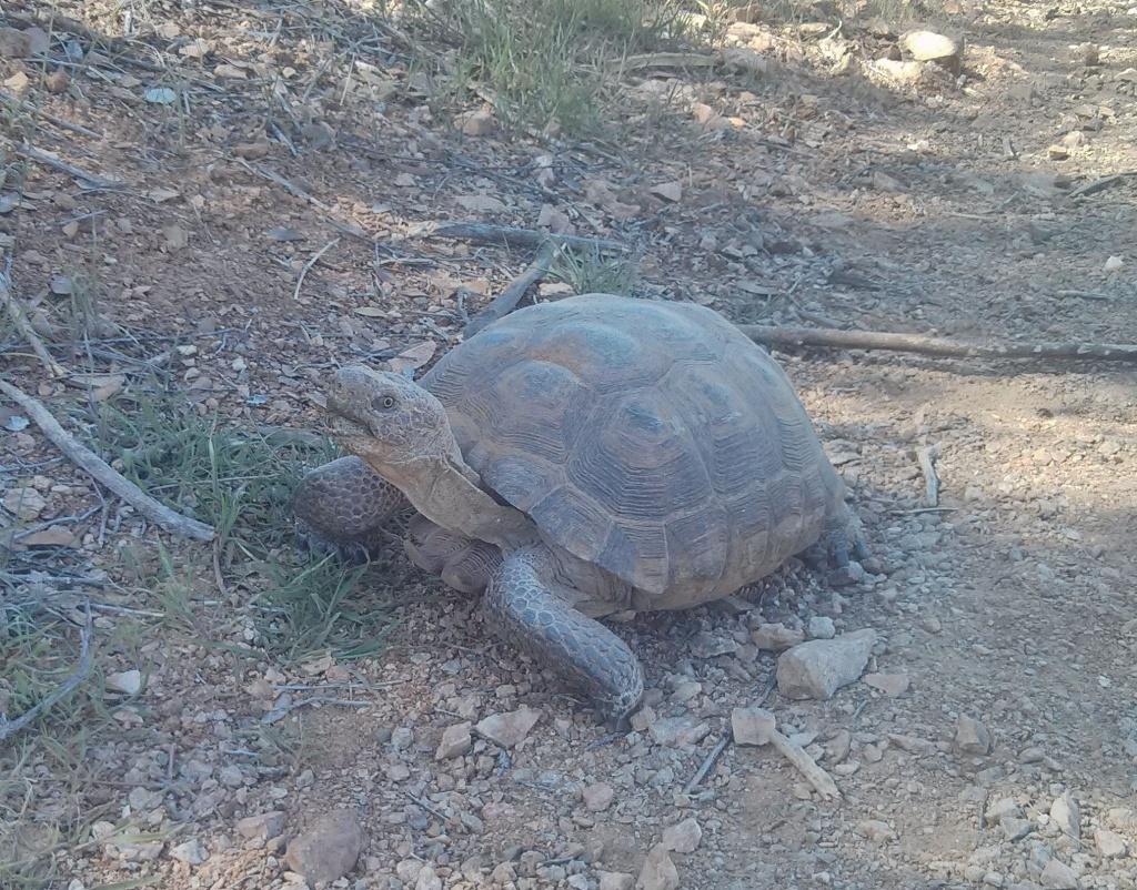 2016: Reptile Encounters-desert-tortise.jpg
