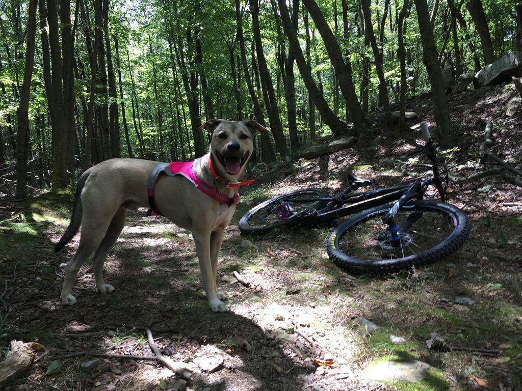 Trail Dog riding during gun/deer season Pisgah/ trip planning-dogtopdeathmarch2.jpg